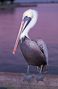 11/29/2002 - Stuart, Florida - Brown Pelican - Pelicaniforme - Pelicanus occidentalis - Brown Pelican(s) at Stuart, Florida Municipal docks, at twilight...JACK HOWARD PHOTOGRAPH
