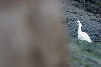 Snowy Egret Glares at Photographer, Bolsa Chica Wetlands Ecological Reserve, Huntington Beach, California