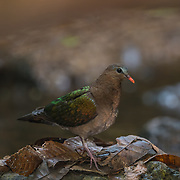 The common emerald dove, Asian emerald dove, or grey-capped emerald dove (Chalcophaps indica) is a pigeon which is a widespread resident breeding bird in Thailand. Photographed in Kaeng Krachan National Park, Thailand.