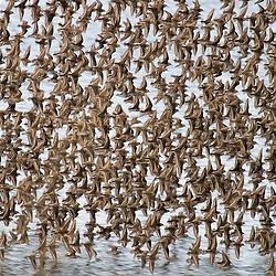 A flock of shorebirds flies over Alaska's Kachemak Bay.