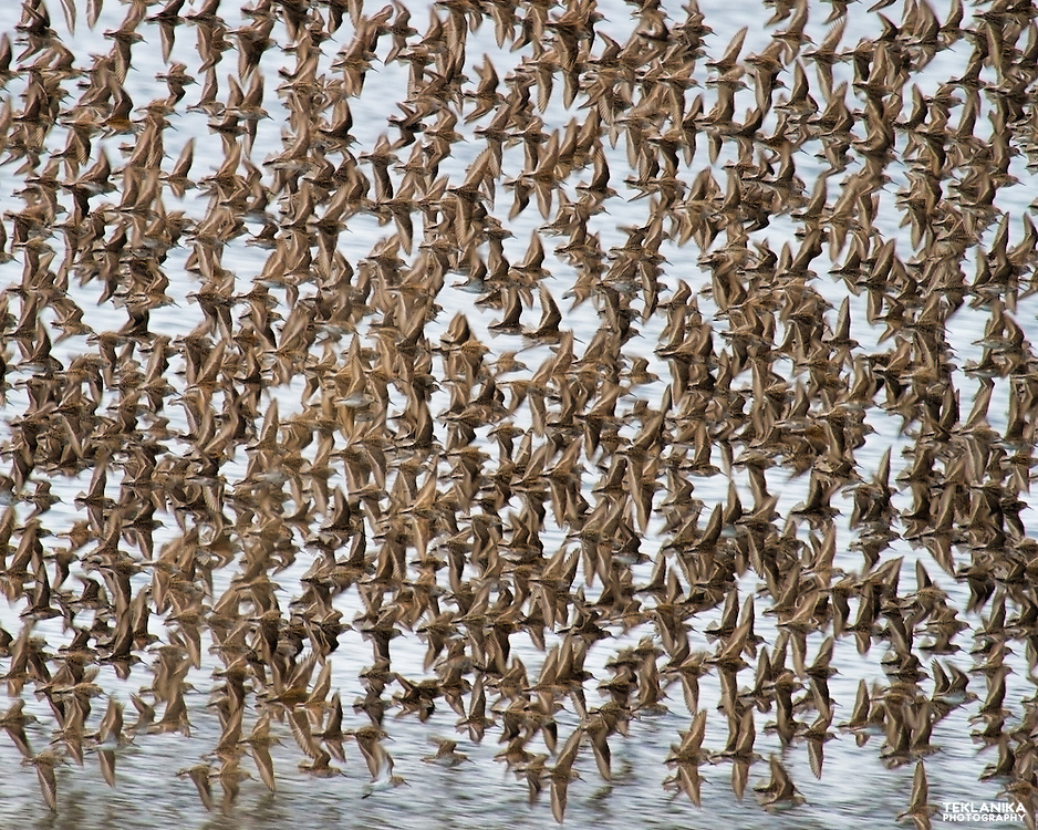 A flock of shorebirds flies over Alaska's Kachemak Bay.