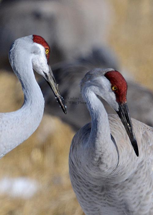 Sandhill Crane, Grus canadensis, Leucystic morph, white bird, dark primaries, extremely rare, Lesser Sandhill is 41 inches tall, remains in family groups year-round, Monte Vista National Wildlife Refuge, Colorado, March 2013