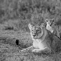 Lion Cub playing with mom (Panthera leo), Ndutu, Tanzania