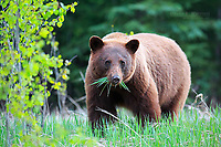 Cinnamon-coloured black bear in Jasper National Park