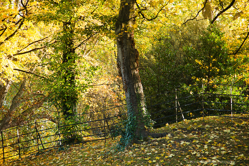 An autumn landscape scene in an Irish park, with a lone tree trunk against the railings and the golden colours of Autumn / fall in the background as a leafy canopy fills the frame, and fallen autumn leaves cover the ground
