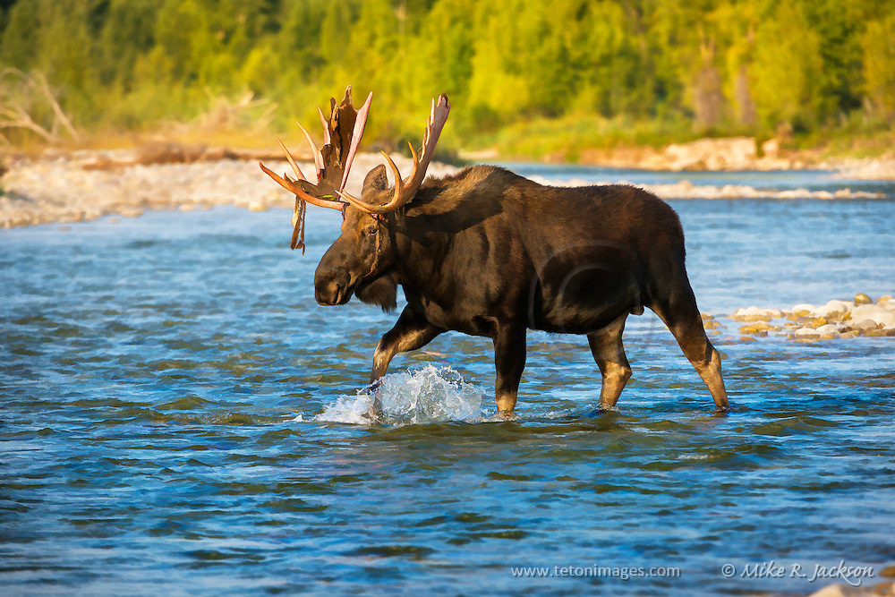 Mature Bull Moose Crossing a River prior to the Fall Rut in Grand Teton National Park.