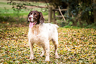 Springer spaniel in field with fallen leaves on ground. Wooden gate in background.