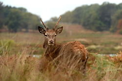 Deer during Autumn in  Richmond Park, London, United Kingdom. Friday, 25th October 2013. Picture by Ben Stevens / i-Images