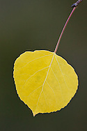 A single yellow aspen leaf hangs in front of a solid green background