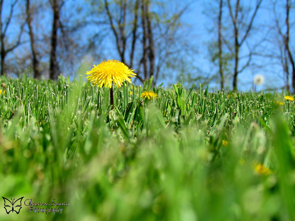 "Click the Buy button to purchase this image in the form of prints, products, or downloads. When you can do nothing else but stand. ""Stand"" A picture of a dandelion in the grass."