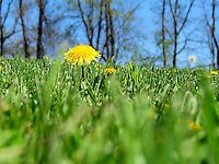 """Click the Buy button to purchase this image in the form of prints, products, or downloads. When you can do nothing else but stand. """"Stand"""" A picture of a dandelion in the grass."""