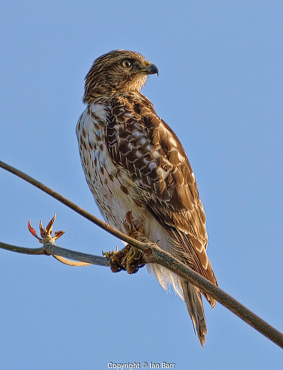 Broad Winged Hawk,Florida.