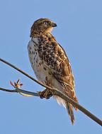 Broad Winged Hawk,Florida.