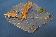 Leaf decay remaining leaf skeleton. The network of veins and vascular material seen here (referred to as a leaf skeleton) is the internal structure left behind as a leaf decays. Fallen leaf that is decaying as it decomposes. Decomposition is part of the nutrient cycle, and is a vital part of recycling organic materials within the natural environment. The plant tissues undergo a natural breakdown, and micro-organisms accelerate this process.