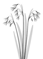 X-ray image of a summer snowflake group (Leucojum aestivum, black on white) by Jim Wehtje, specialist in x-ray art and design images.