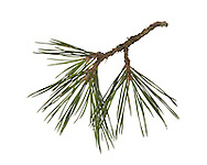 Austrian/Black Pine - Pinus nigra. Height to 30m<br /> Broadly conical with a narrow crown. Bark Greyish-brown, becoming darker and rough in older trees. Needles Paired, to 15cm long; stiff with finely toothed margins. Reproductive parts Mature cones, to 8cm long, have keeled, spined scales. Status Native of central Europe. Widely planted here for shelter or ornament and sometimes naturalised.