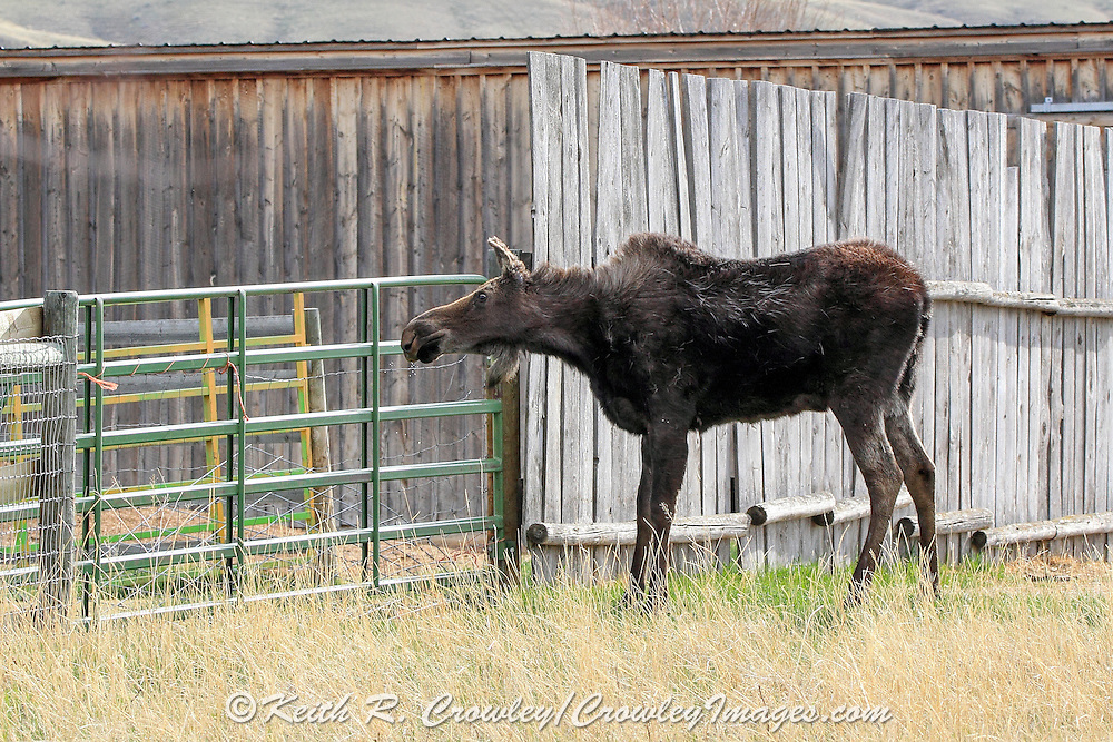 Moose feeding near corral