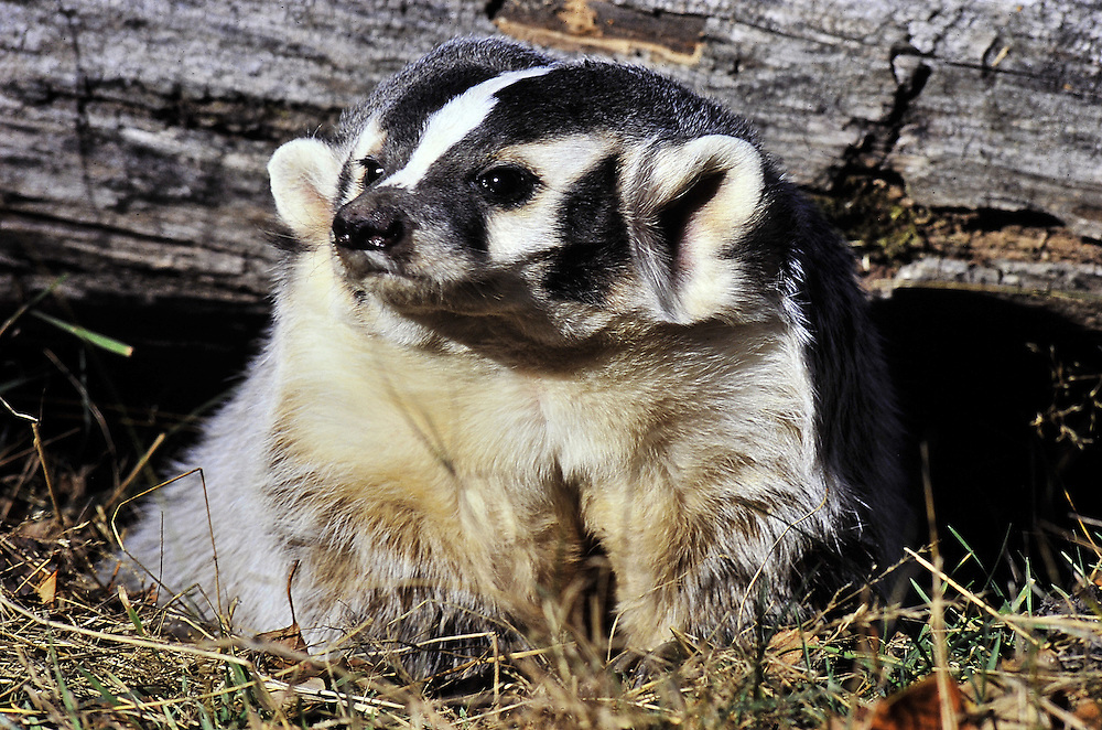 A badger emerges from a den. Montana