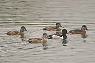 Ring-necked Duck photos