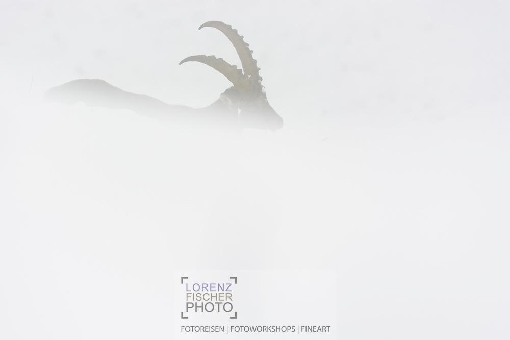 Junger männlicher Alpen-Steinbock (Capra ibex ibex) am Pilatus beim Widerkäuen im dichten Nebel nach dem ersten Wintereinbruch an einem wolkenverhangenen und nebligen Tag im Oktober