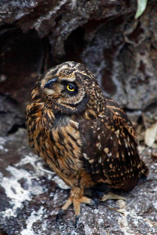 South America, ecuador, Galapagos Islands. Short-eared Owl of Genovese Island.