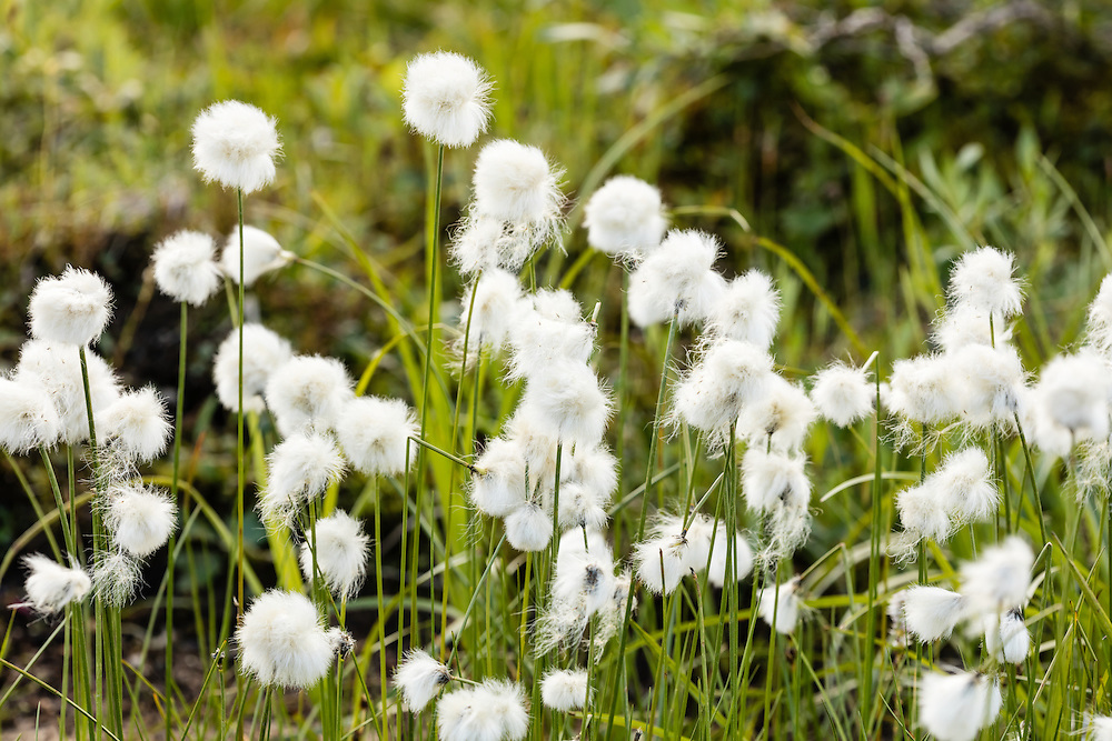 Alaska Cotton Grass (Eriophorum branchyantherum) on Stony Hill in Denali National Park in Southcentral Alaska. Summer. Morning.