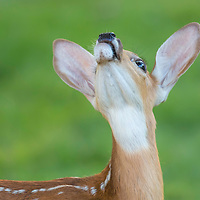 White-tailed deer fawn looks up with curiosity at insects buzzing overhead.