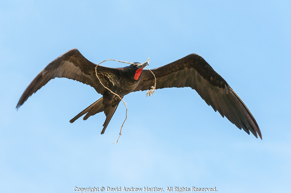 A male Great Frigatebird (Fregata minor) with nesting material flys back to its nest. Midway Atoll National Wildlife Refuge.