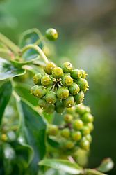 The berries of Hedera helix f. poetarum - Poet's ivy