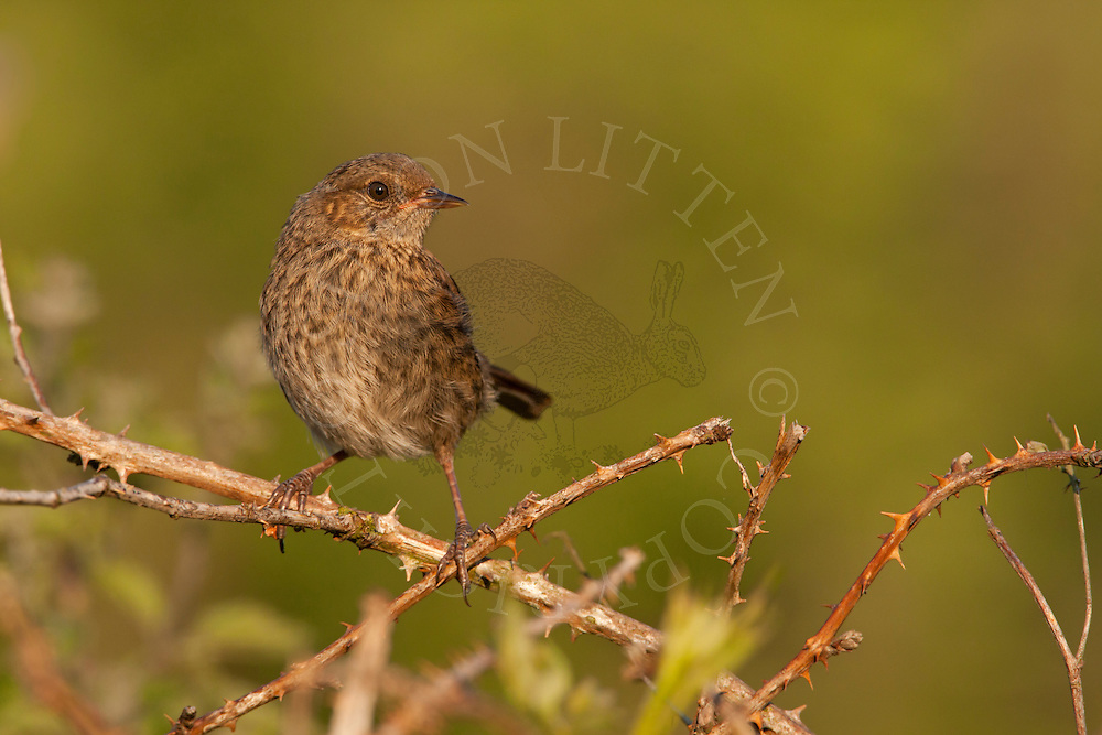 Dunnock (Prunella modularis) adult perched on bramble, Norfolk, UK.