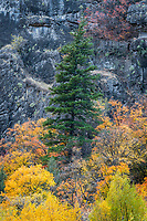 A lone pine tree stands defiantly among the colorful maple leaves of Fall in Logan Canyon.