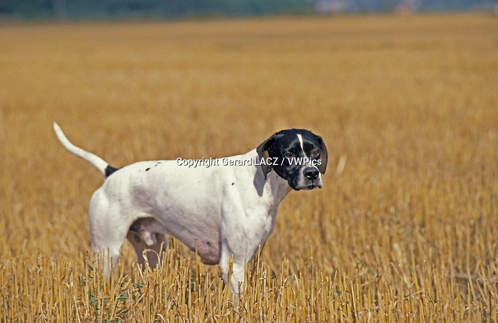 Pointer Dog, Male standing in Wheat's Field