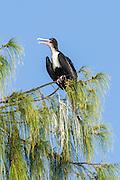 Female Greater Frigatebird perched ina Casarina Tree, D'Arros Island and St Joseph Atoll, Amirantees, Seychelles,