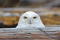 Snowy owl during the 2011-12 winter irruption at Boundary Bay, Vancouver, BC