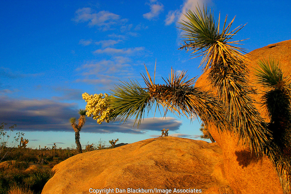 Sunset on Joshua Tree branches and boulder. Joshua Tree National Park, California.