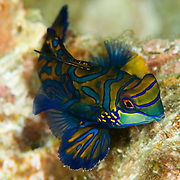 Mandarinfish Synchiropus splendidus at Lembeh Straits, Indonesia.