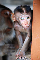 A very cute baby monkey in Polaki Temple, Bali, Indonesia.