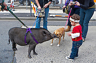 Pet Pot Bellied Pig, dog, and toddler girl looking at each other, while girl's Mom takes photo, in street at Annual Bellmore Street Fair, Bellmore, New York, USA, on September 17, 2011. EDITORIAL USE ONLY