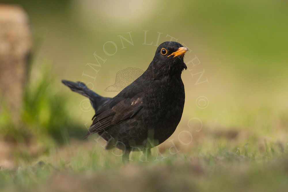 European Blackbird (Turdus merula) adult male, UK