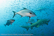 Almaco Jacks, Seriola rivoliana, hunt Cigar Minnows, Decapterus punctatus, near Sand Tiger Sharks, Carcharias taurus, over the Caribsea shipwreck in the Graveyard of the Atlantic offshore Morehead City, North Carolina, United States.