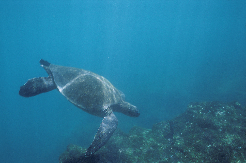 South America, Ecuador, Galapagos Islands, Pacific Sea Turtle (Chelonia mydas) swimming underwater near Fernandina Island