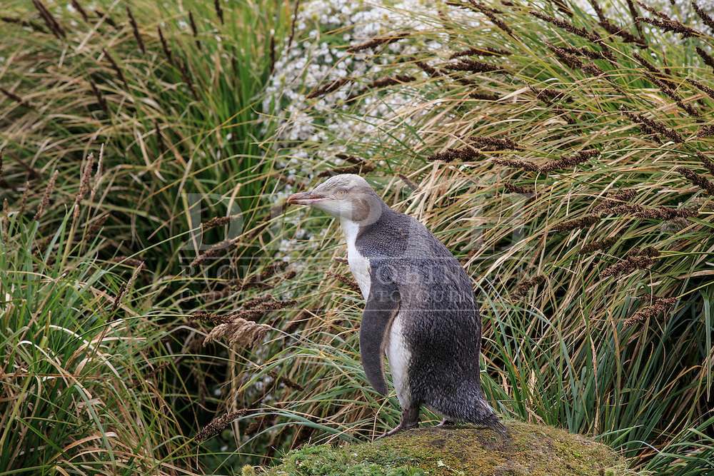 Megadyptes antipodes (Yellow eyed penguin) juvenile at Enderby Island, Auckland Islands, New Zealand.<br /> 06 January 2016<br /> Photograph Richard Robinson &copy; 2016