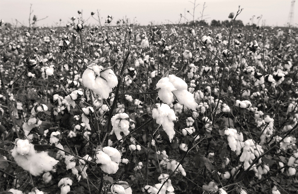 Cotton  Mississippi Delta