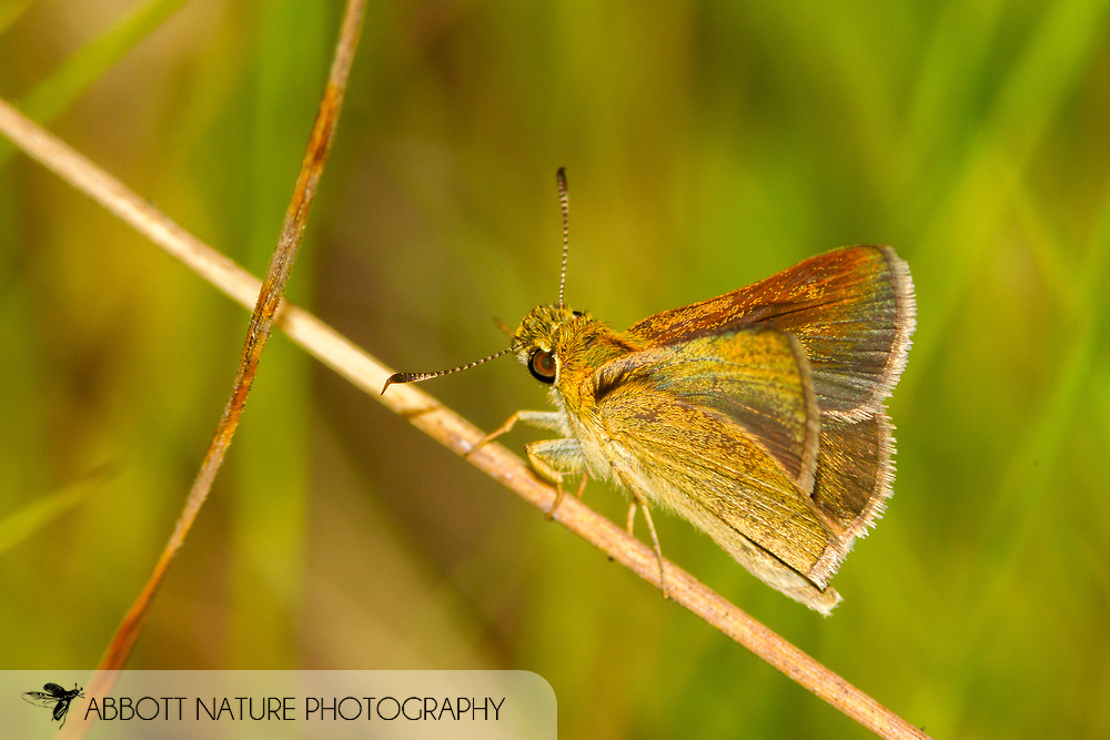 Dun Skipper - Hodges#4078 (Euphyes vestris)<br /> United States: Texas: Lamar Co.<br /> Camp Maxey National Guard, Powderly<br /> 25-Aug-2017<br /> J.C. Abbott #2979