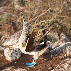 A Galapagos Blue Footed Booby holds a twig and arches its wings in a mating display