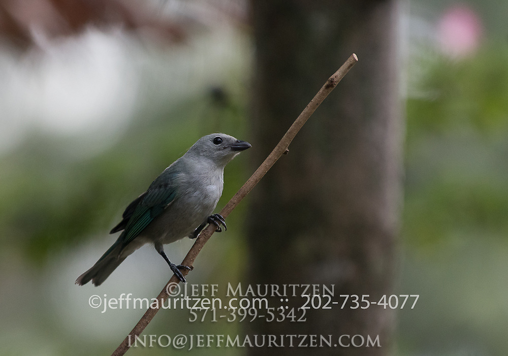 Blue-gray tanager perches on a branch in Golfo Dulce, Costa Rica.