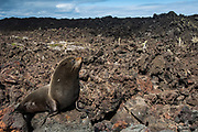 Galapagos Fur Seal (Arctocephalus galapagoensis) sitting on lava Cabo Hammond, Fernandina Island.<br /> GALAPAGOS ISLANDS<br /> ECUADOR.  South America<br /> These are the smallest of the world's 7 species of fur seals with males only reaching 65-80kg's. They are found mostly in the upwelling zones  in the west of the archipelago. They are usually quite solitary and avoid body contact with other fur seals, preferring to be in the shady lava crevices. They are nocturnal feeders and thus have very large eyes and good nocturnal vision. <br /> ENDEMIC TO GALAPAGOS.