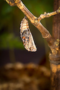 A painted lady butterfly (Vanessa cardui) chrysalis.