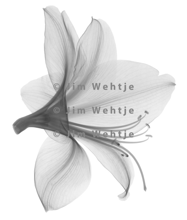 X-ray image of an amaryllis flower (Hippeastrum, black on white) by Jim Wehtje, specialist in x-ray art and design images.