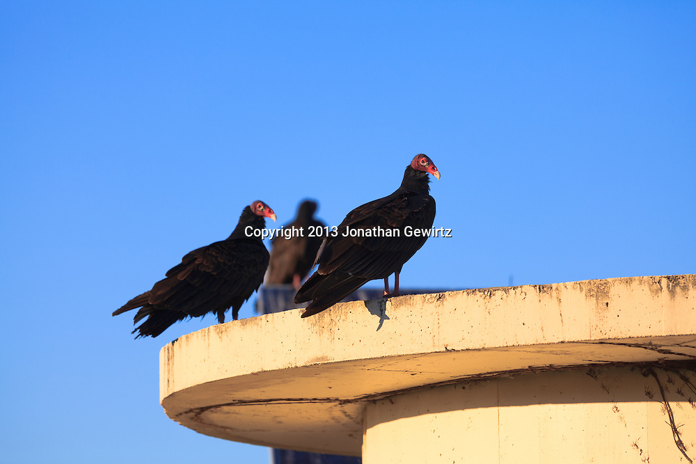 Turkey vultures (Cathartes aura) in the Shark Valley section of Everglades National Park, Florida. WATERMARKS WILL NOT APPEAR ON PRINTS OR LICENSED IMAGES.